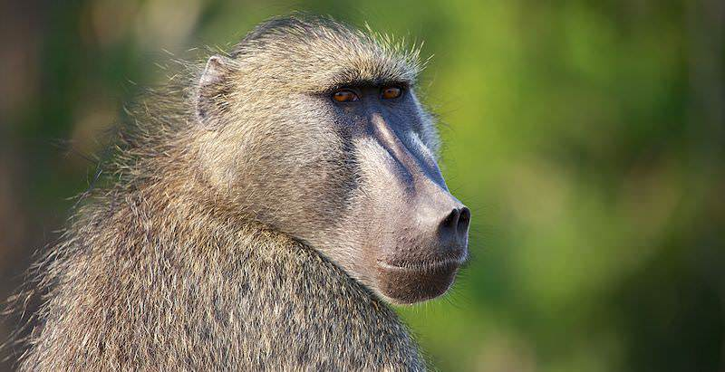 000-chachma-baboon