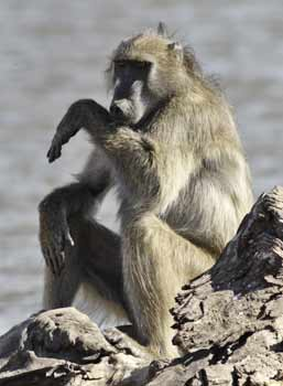 a baboon blogpost 7
