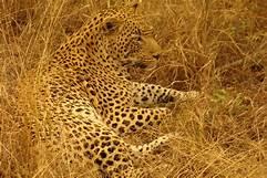 Spotting a leopard